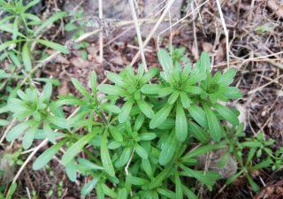 Przytulia czepna (Galium aparine L.)